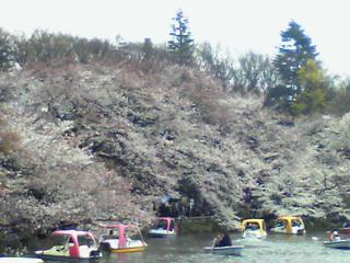 ライブ!井の頭公園の〓桜