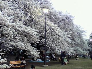 ライブ小金井公園の桜