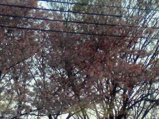 やめられない『桜』