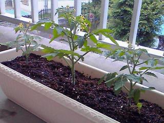 芽が出ちゃったトマトのその後