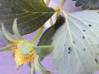 莓についたアブラムシ